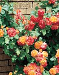 how to support a existing climbing rose